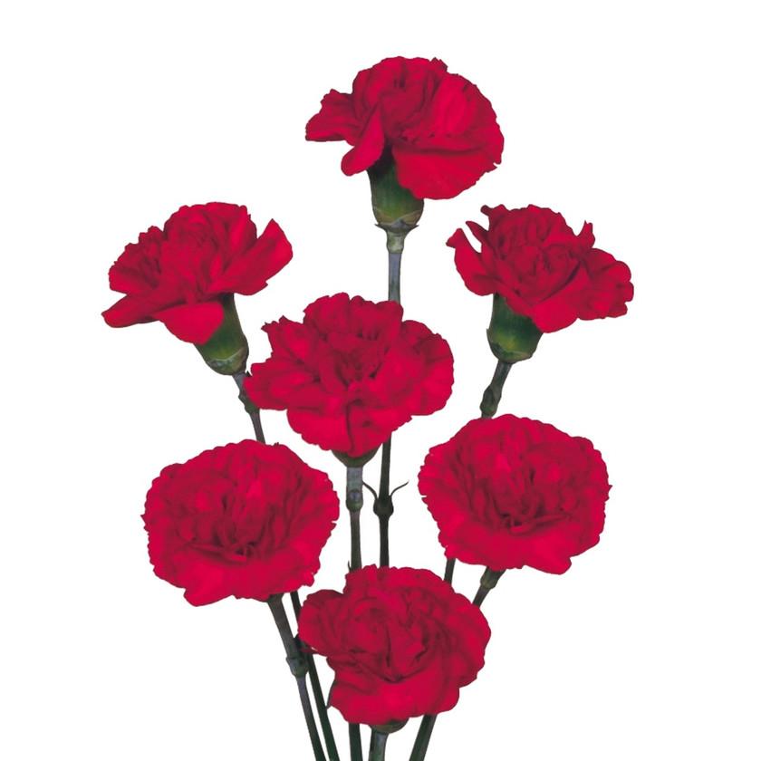 Spray Carnation Brunello