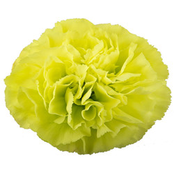 Celtic is a lime green flower