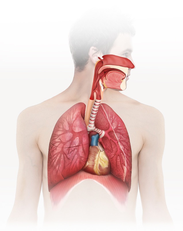 respiratory system on photo for Zanichelli Editore