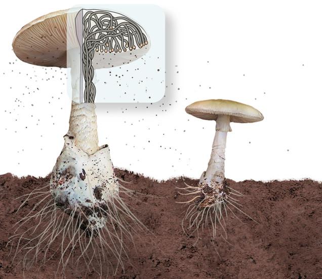 hyphae mushroom