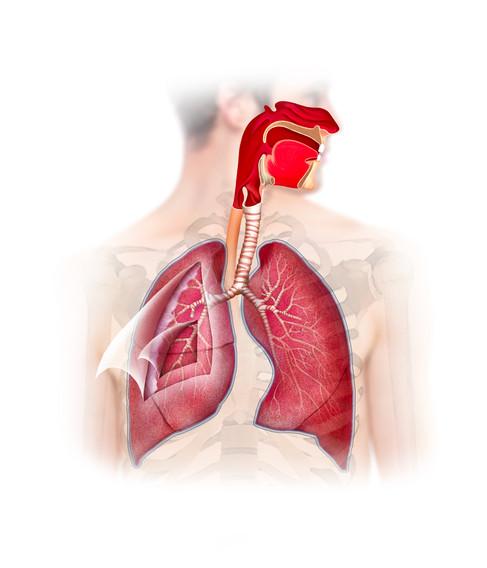 pulmonary pleurae