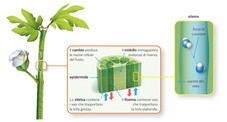 plant structure - the stem