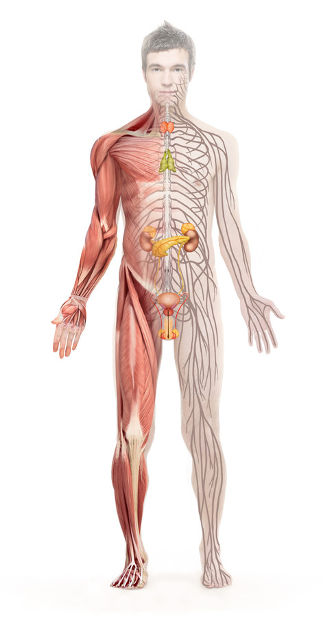 body muscle and lymphatic vessel