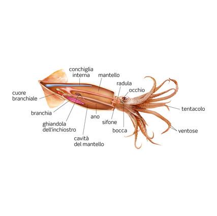squid anatomy