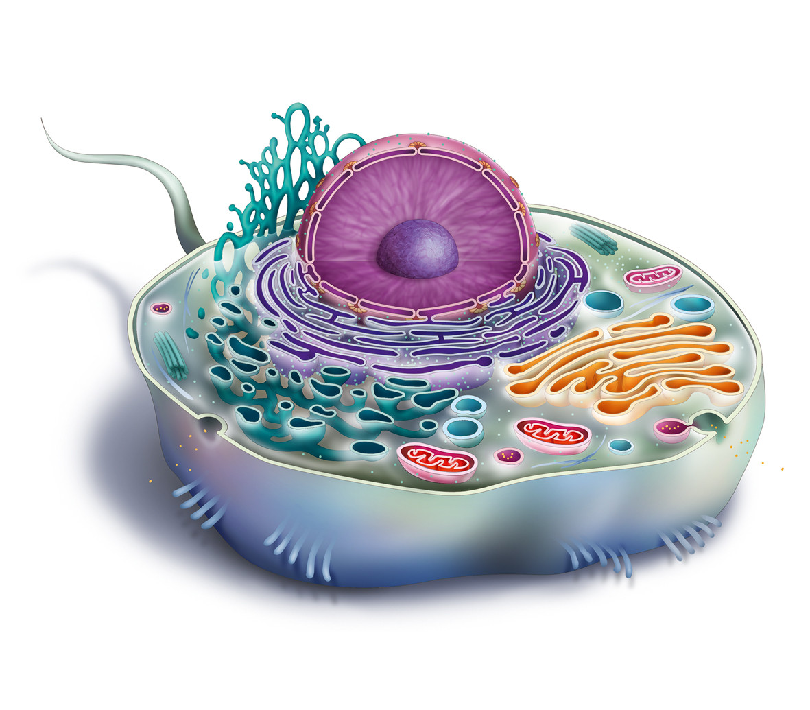 human-cell for young readers