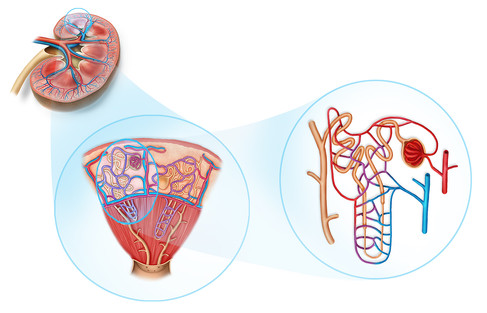 kydney nephron diagram