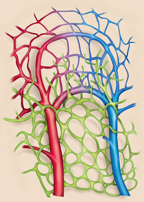 lymphatic and blood vessel