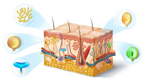 skin sensory receptors
