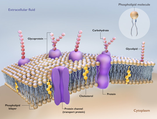 cell membrane structure