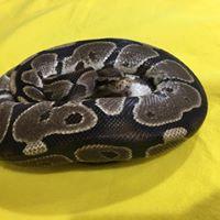 Burned Ball python 2.19.20.jpg