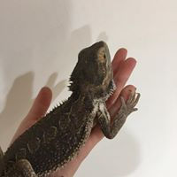 Bearded dragon 1 2.19.20.jpg