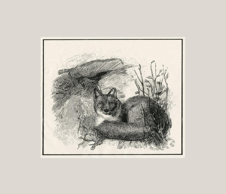 Darwins Fox