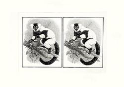 Black & White Ruffed Lemur