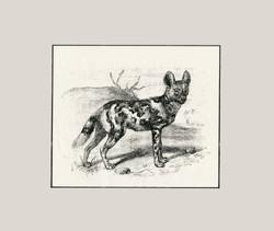 African Willd Dog