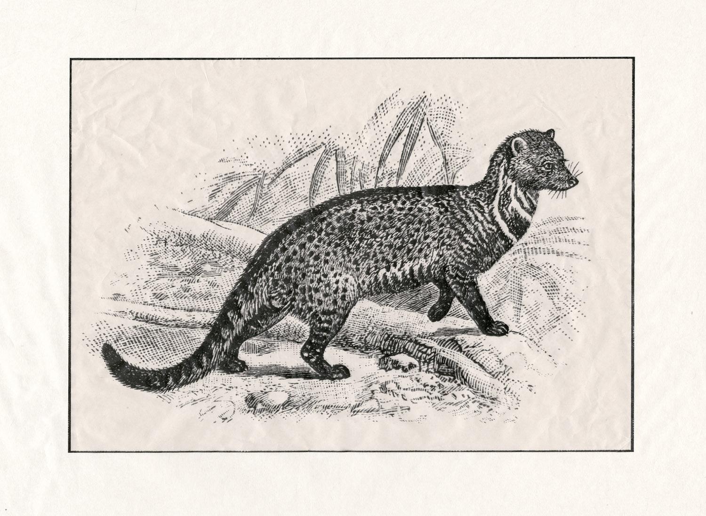 Malabar Spotted Civet