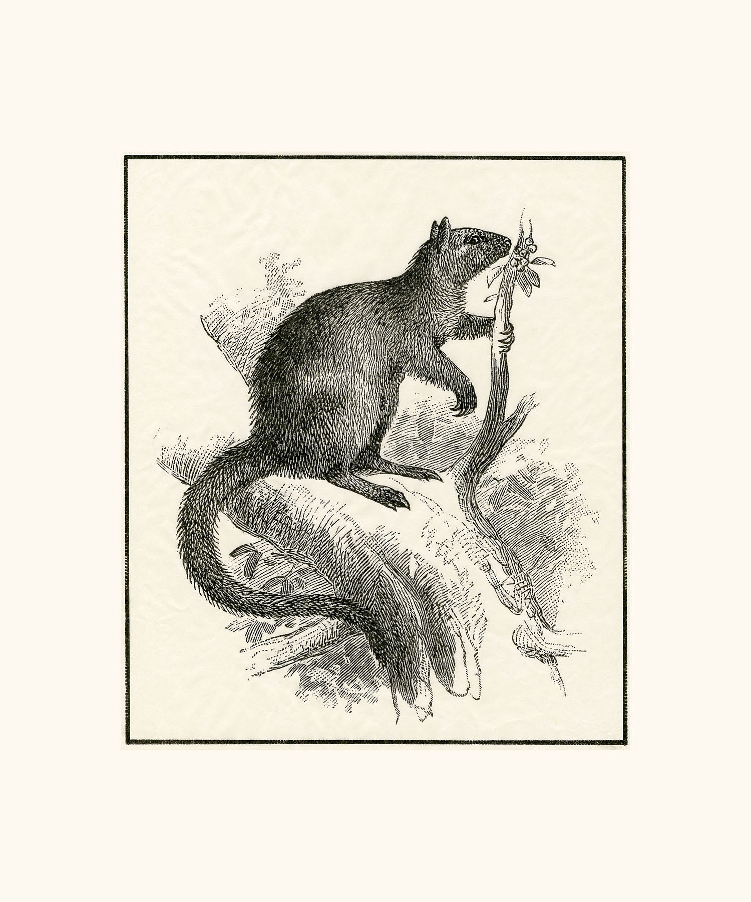 Wondiwoi Tree Kangaroo