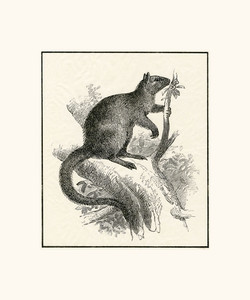 Wondiwoi Tree Kangaroo