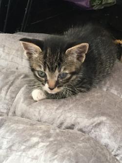 JERRY (1) KITTEN 1