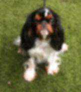 Cavalier Puppies West Yorkshire