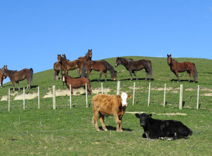 Kaimanawa horses and cattle grazing on fine day on Wellington tour