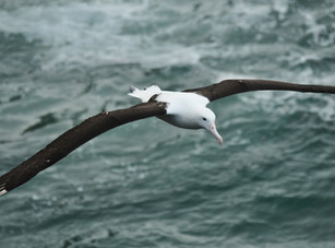Northern Royal Albatross in flight