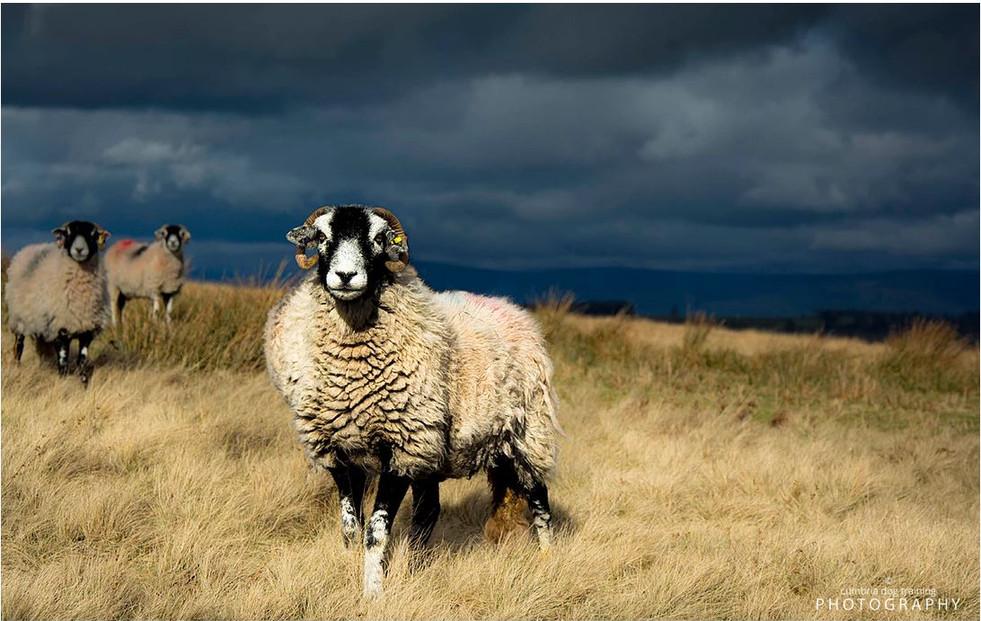 LIFE_sheep.JPG