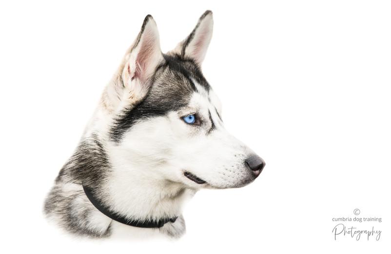 The Husky.jpg