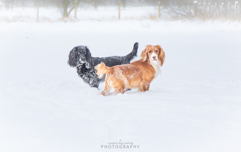 PLAY_Cocker Spaniels Sumo and Mick snow.