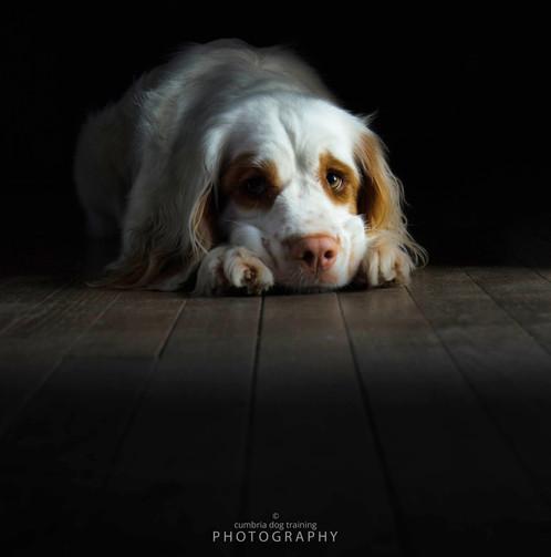 REST_Clumber Spaniel Annie portrait.jpg