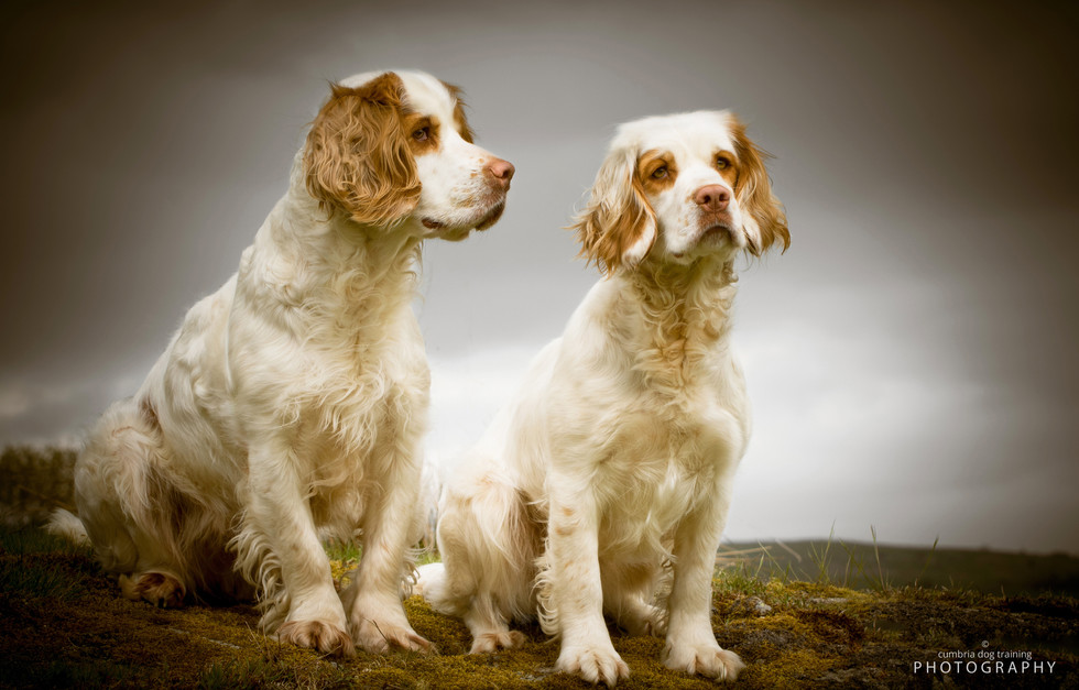 REST_Clumber Spaniels Tilly and Annie.jp