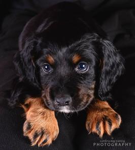 REST_Cocker Spaniel Puppy.jpg