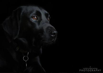 REST_Black Labrador.JPG
