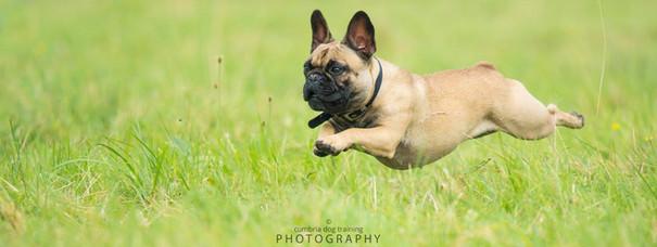 PLAY_French Bulldog.jpg