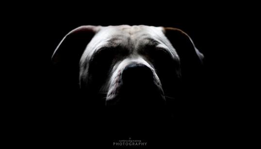 REST_American Bulldog.JPG
