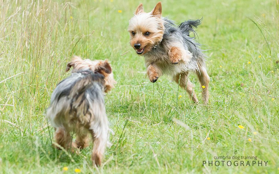PLAY_Yorkshire Terriers.jpg