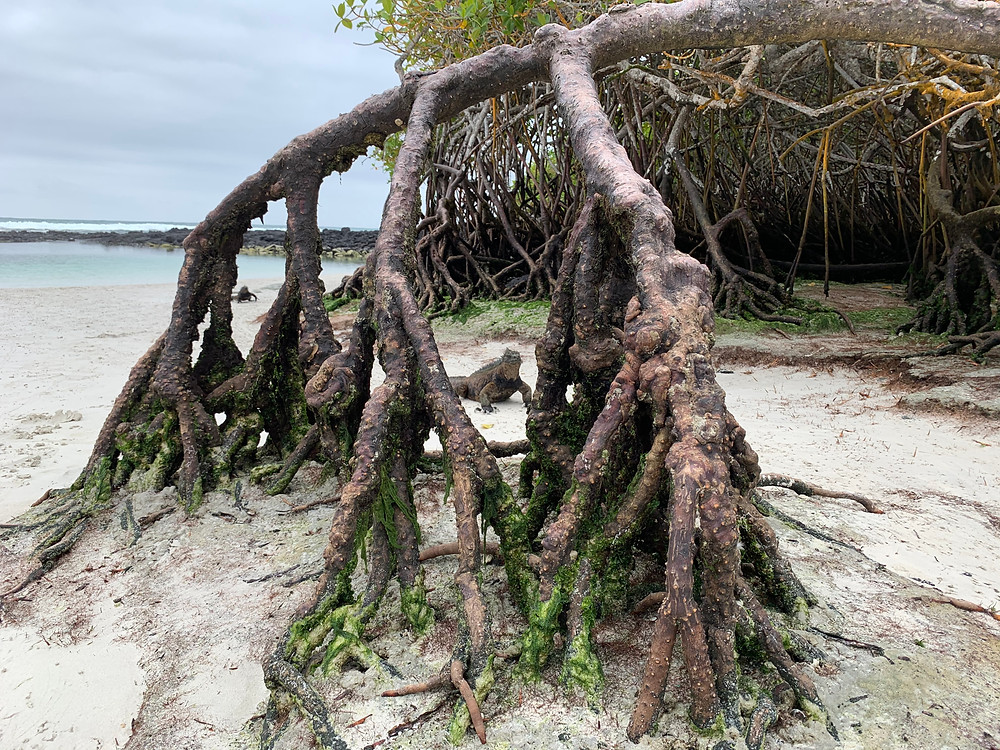 2 marina iguanas peer out between a mangrove tree's roots.