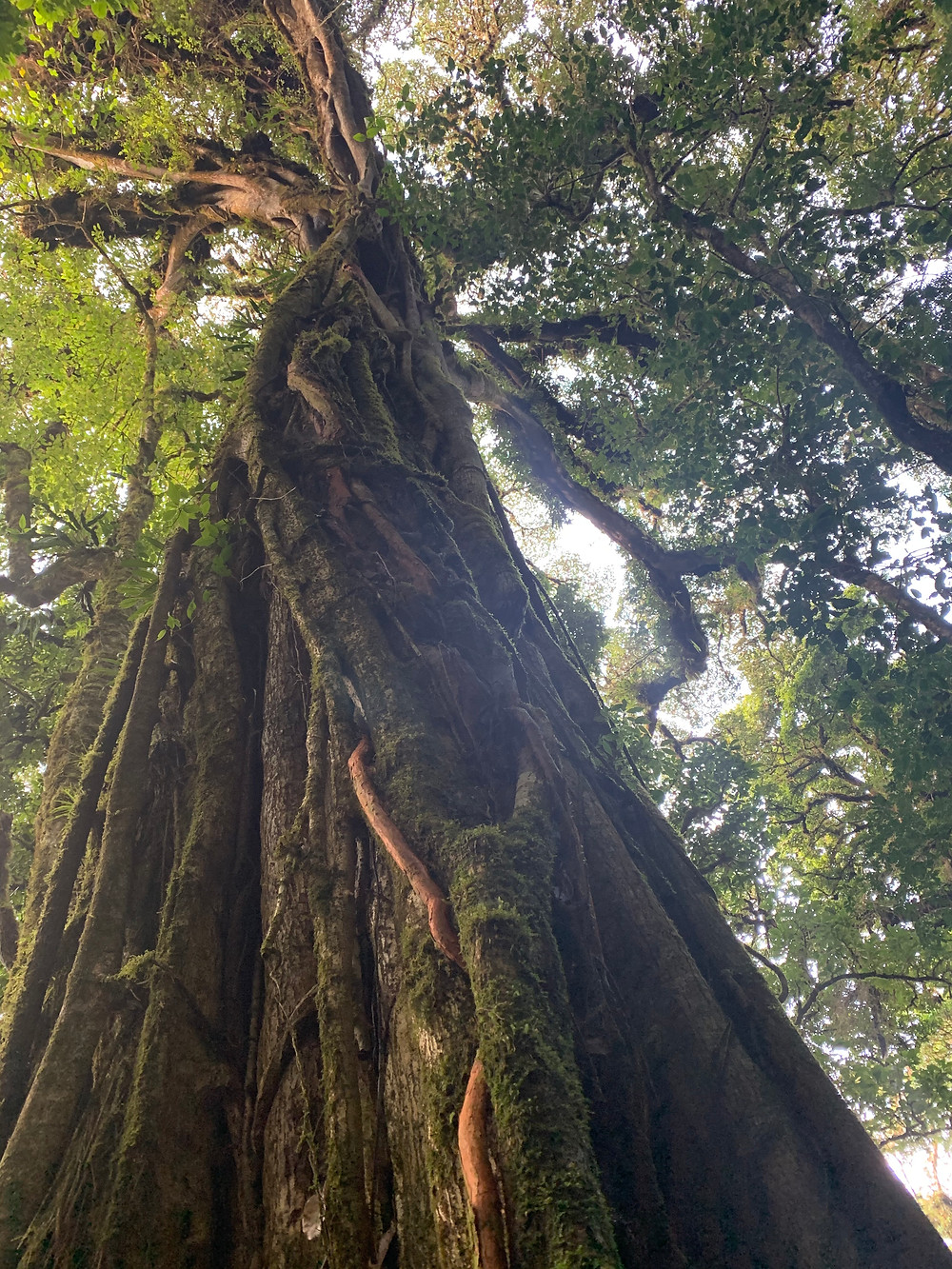 Giant tree with green moss growing up the side towers above you with a lush green canopy. Vines flow to the ground.
