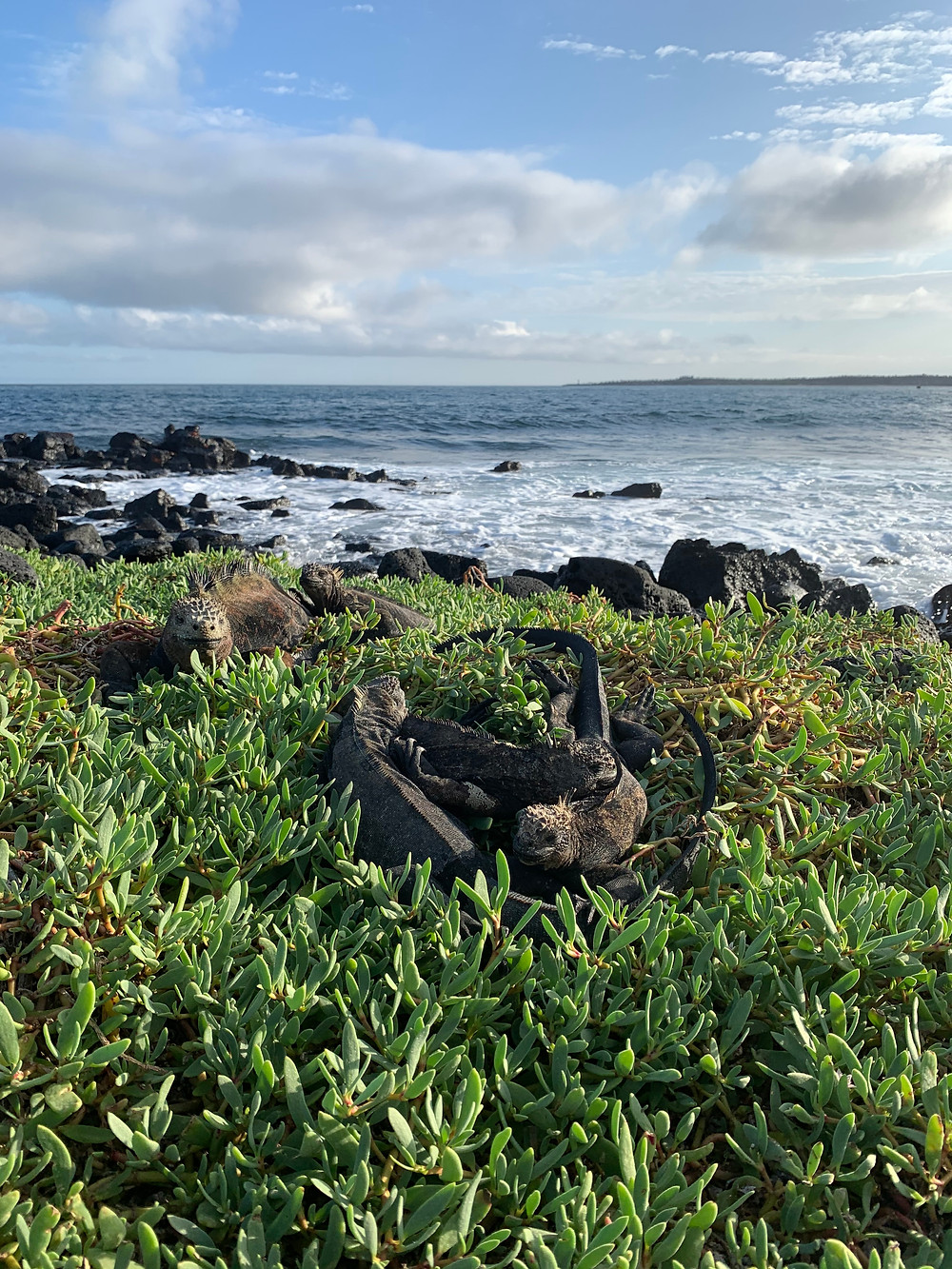 5 brown and black marine iguanas rest in greenery beside the ocean.