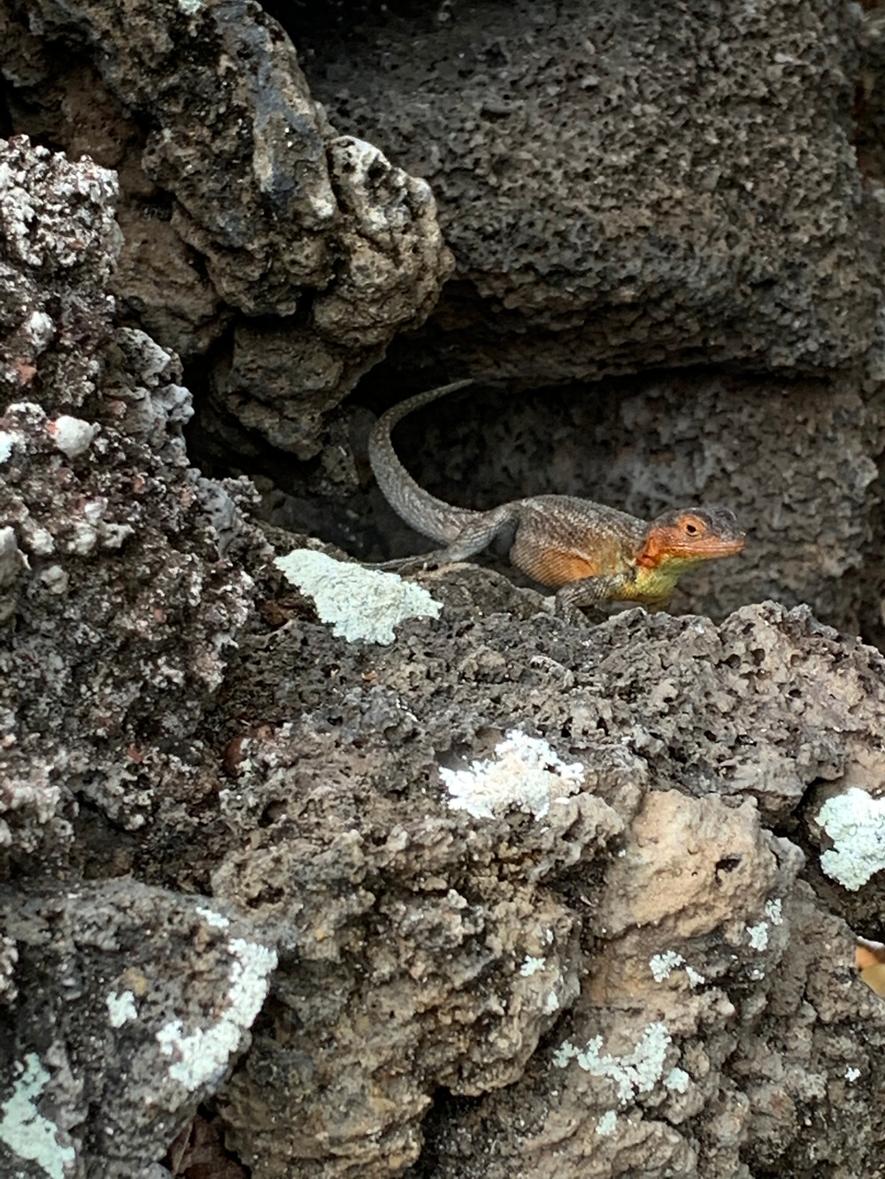 Grey, orange and yellow lava lizard hiding in stony grey rocks.