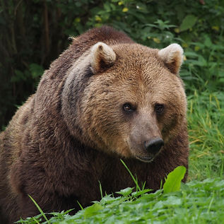 European_Brown_Bear-min.jpg