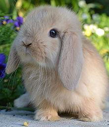 Conigli ariete a milano