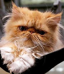 Vendita gatti persiani