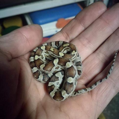 ASM-Serpenti11.jpg