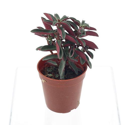 Succulent Variant