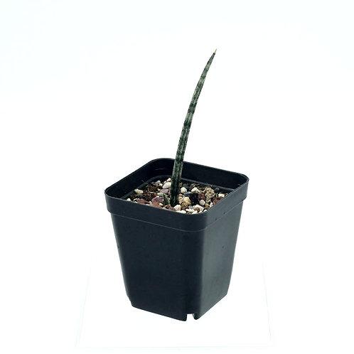Sanseveria Cylindrica Pup (C)