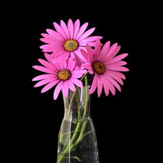 Still Life Daisies in vase