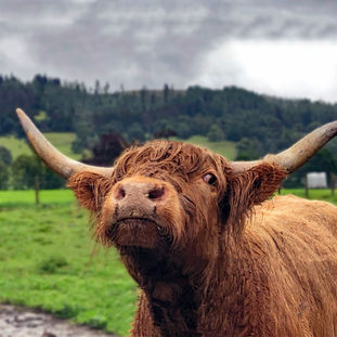 Highland Cow in the Rain