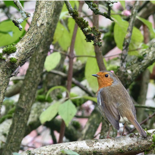 Robin on vibernum bodnantense