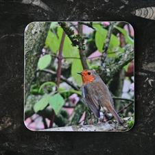 Robin on a  Viburnum bush Coaster