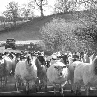 Yorkshire Shepp Jam B&W